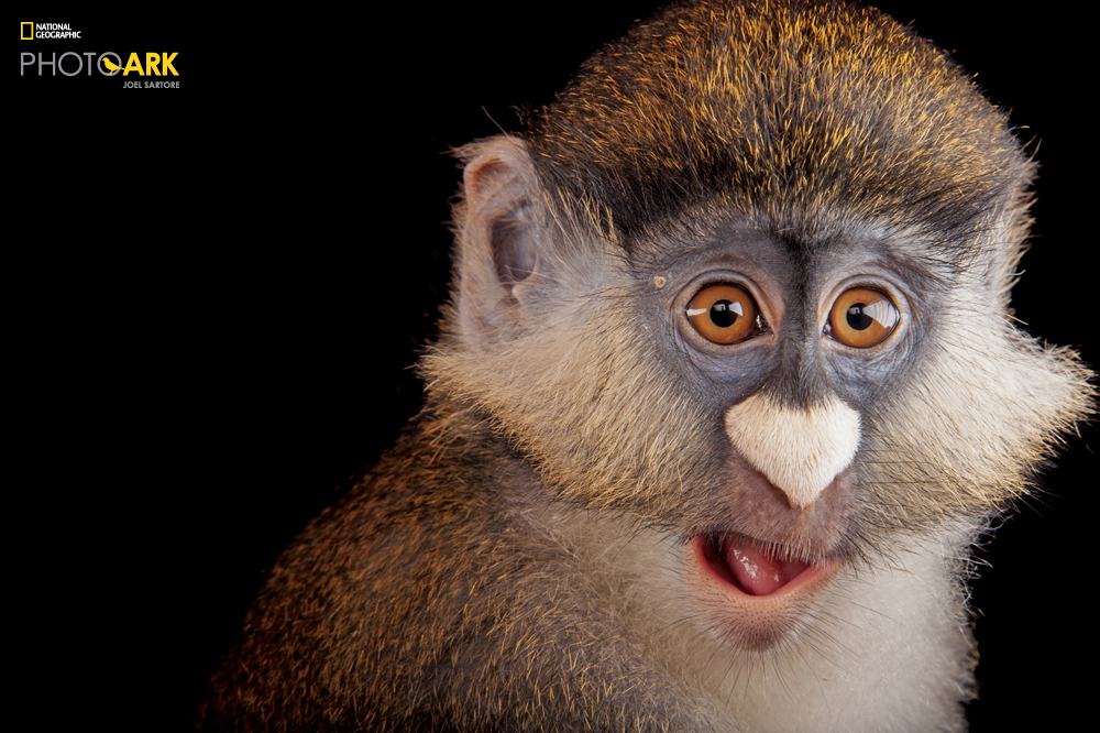 Schmidt's red-tailed monkey (Cercopithecus ascanius schmidti) at the Houston Zoo. (Joel Sartore/National Geographic)