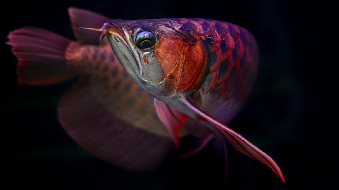 The world s most coveted pet fish costs 300 000 for Freshwater dragon fish