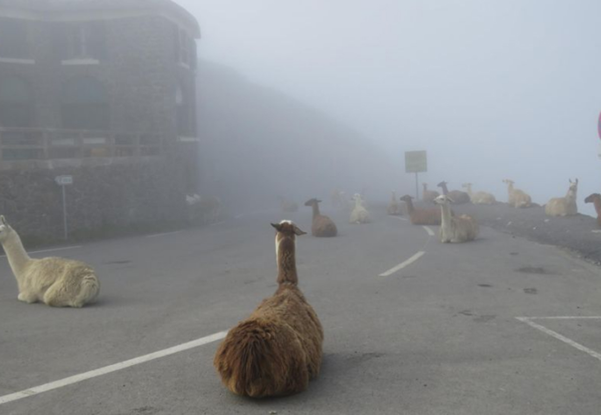 Llamas on Tour de France Course