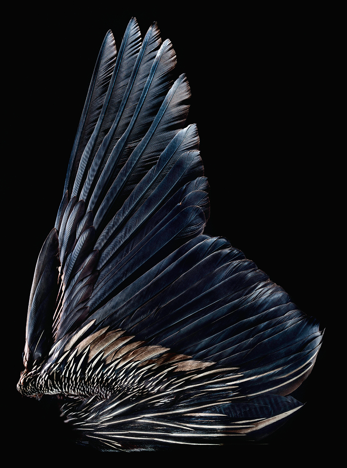 An anhinga wing (Robert Clark/Published by Phaidon)