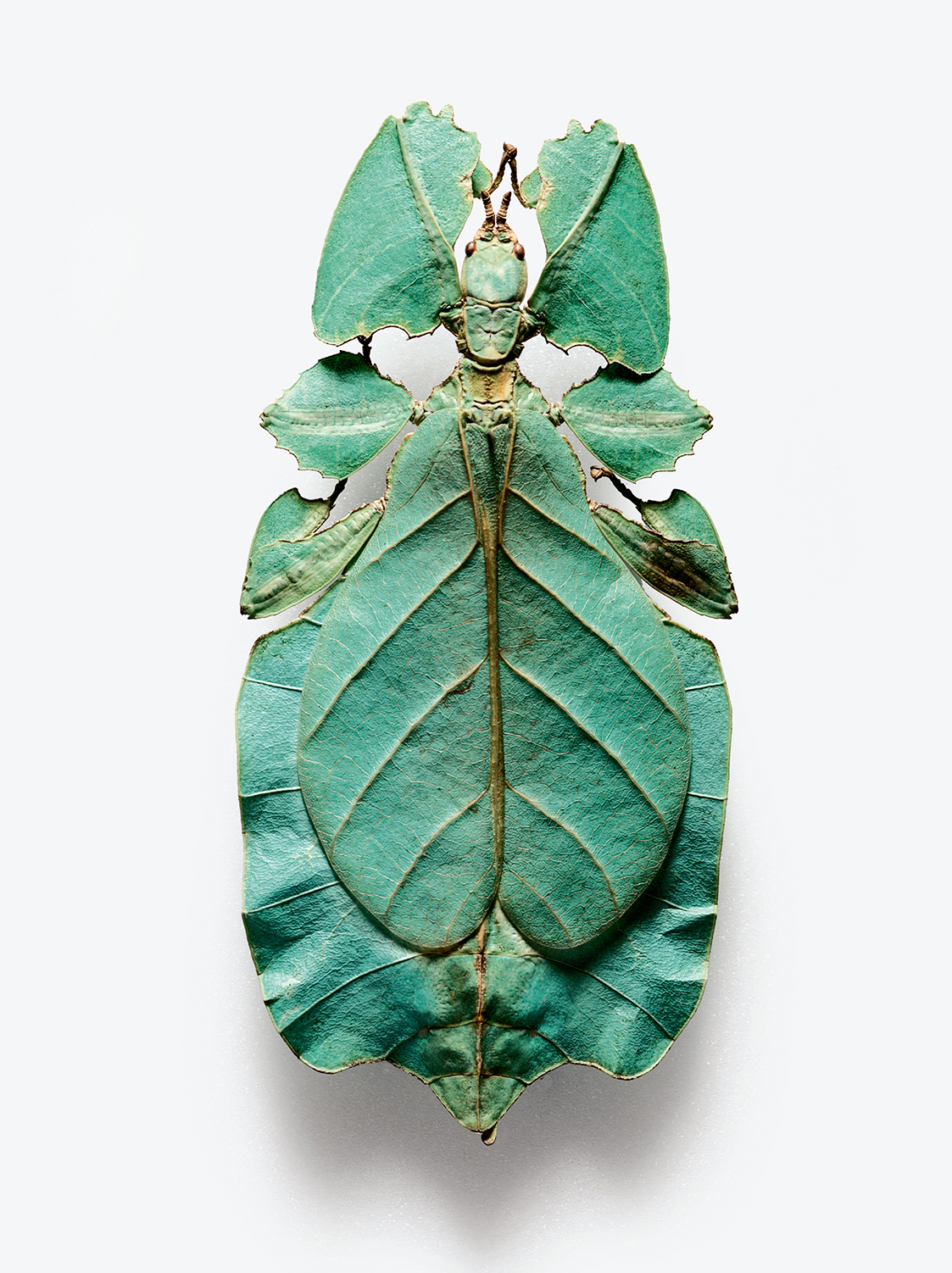 "True leaf insect or ""walking leaf"" (Robert Clark/Published by Phaidon)"