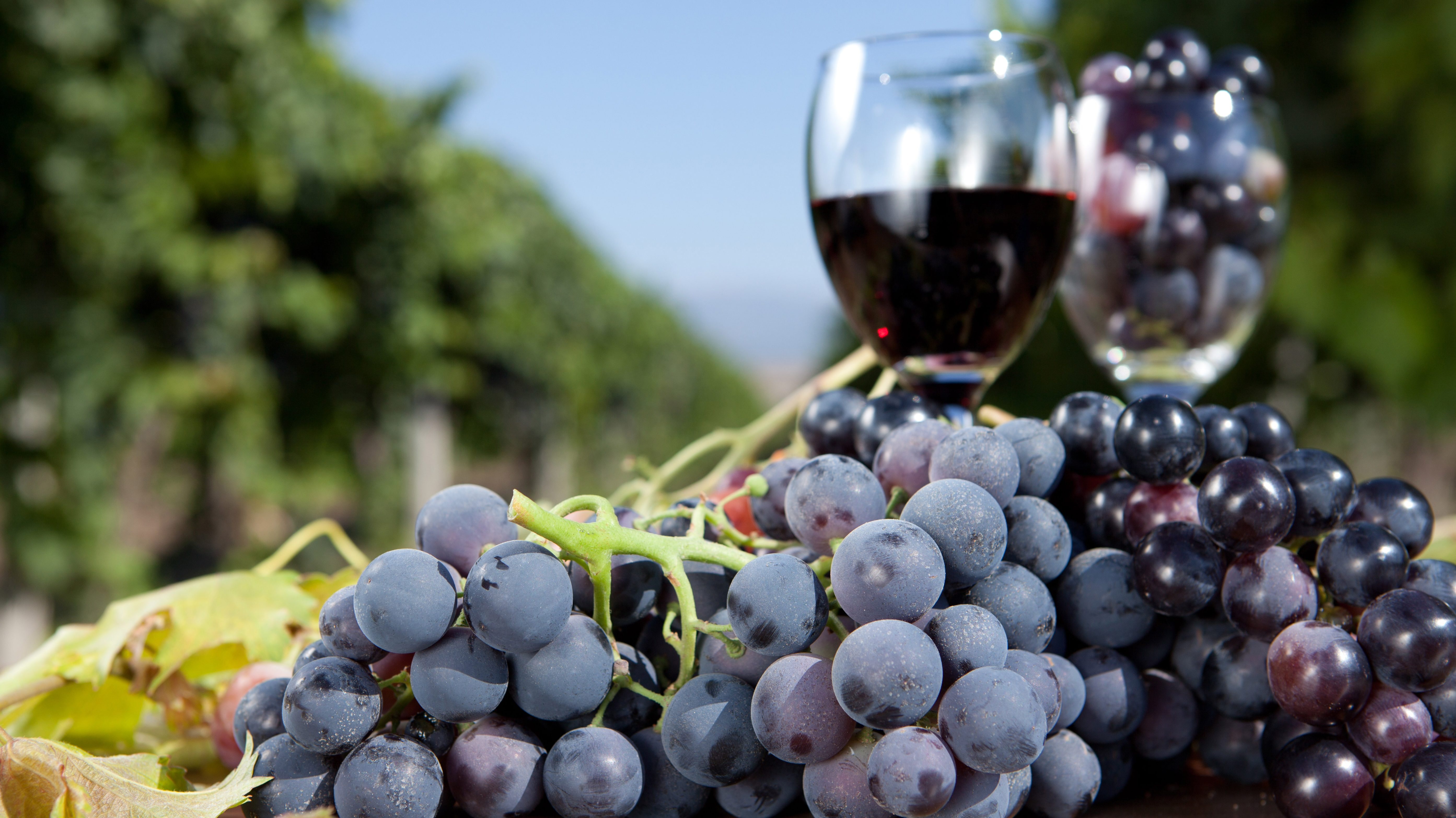 Синий виноград вино в домашних условиях рецепт