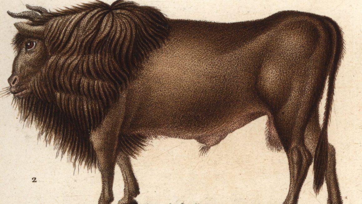 Long-Extinct Auroch Cattle to Be Resurrected Via Back-Breeding