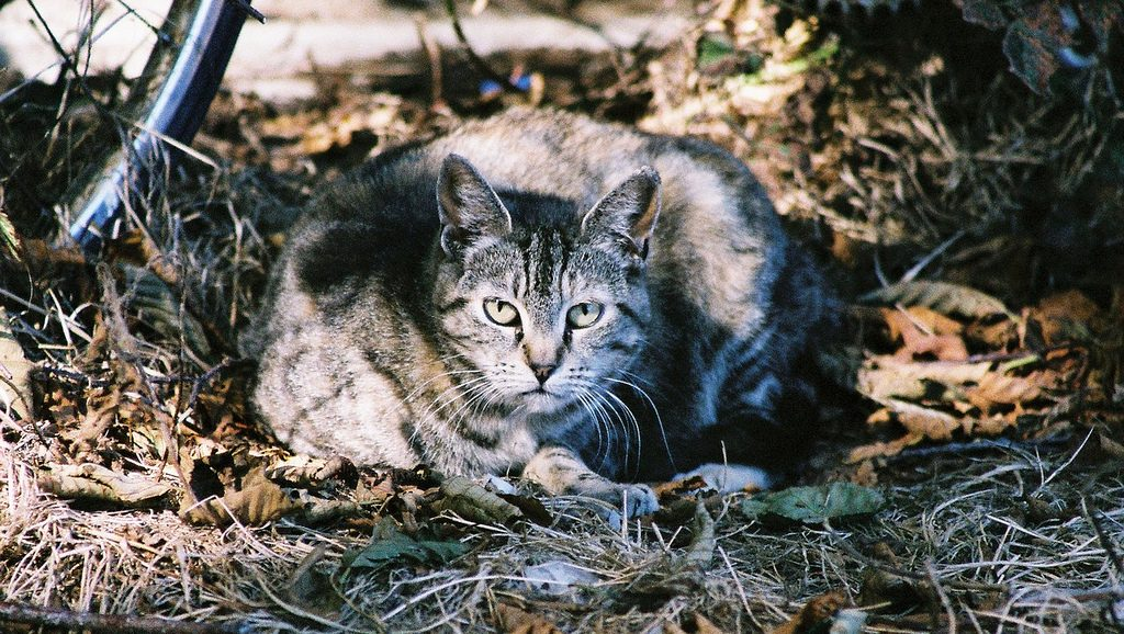 Australia Culling Millions of Feral Cats to Save Native Wildlife