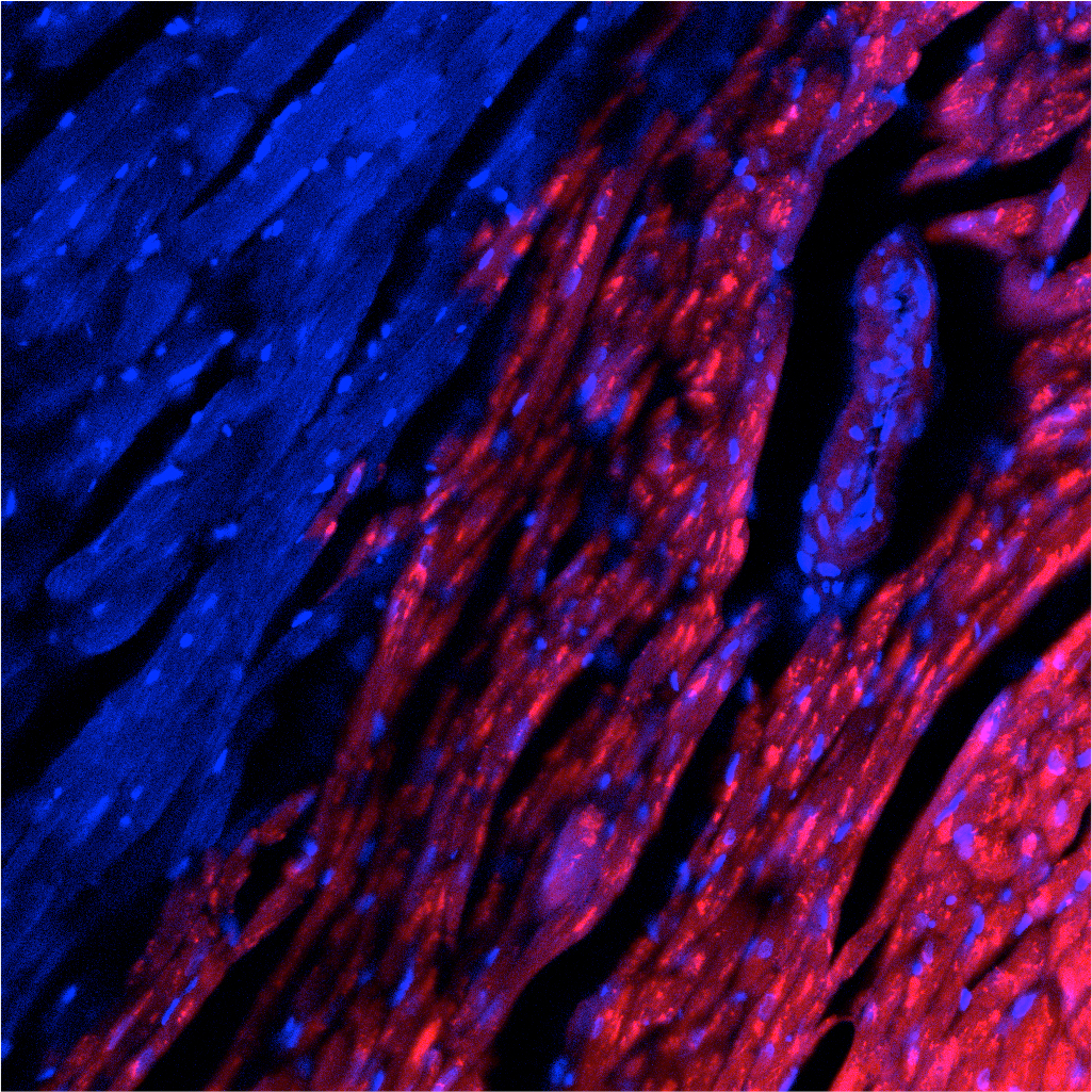 Rat pluripotent stem cells (red) contribute to heart cells in a mouse.(Courtesy Salk Institute)