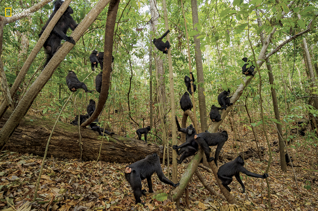 A day in the life of these social monkeys includes moseying through the forest of the Tangkoko Nature Reserve, eating, grooming, and lollygagging. If individuals fan out on their own, they use calls to stay in contact with the group. (Stefano Unterthiner/National Geographic)