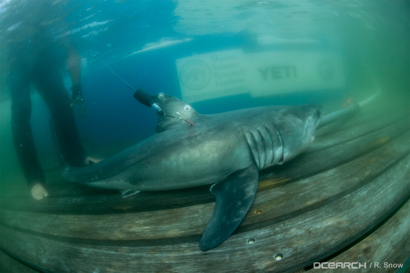 a research on the great white shark A 600-kilogram great white shark named hilton, tagged by the research group ocearch in march in south carolina, has been cruising off canada's east coast for months.