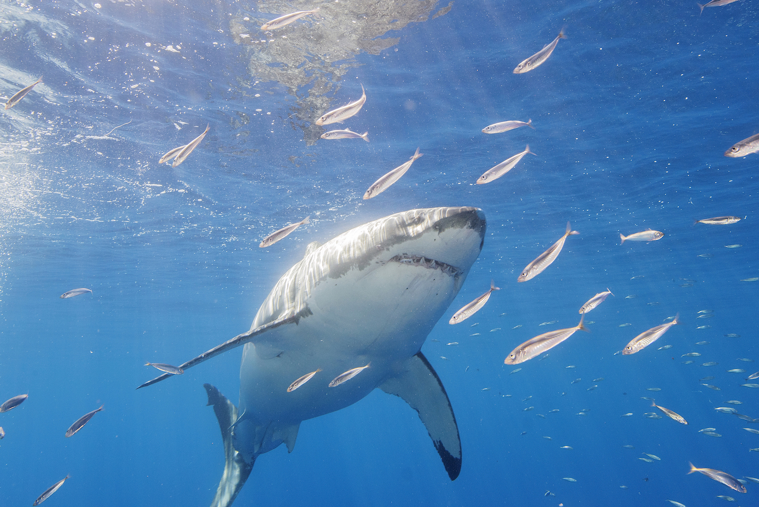 Underwater Robots Used To Search for Great White Sharks
